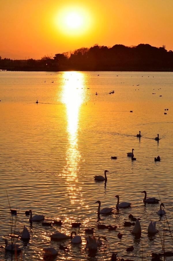2.20うっとり、夕陽と白鳥たち