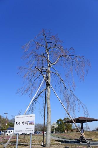 日本三大桜「三春滝桜」の子孫樹推定樹齢1000年超の枝垂桜