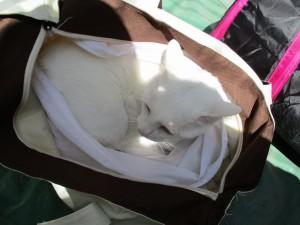 猫のエース