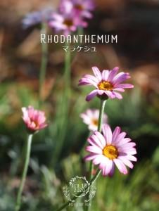 rhodanthemum_marrakesh