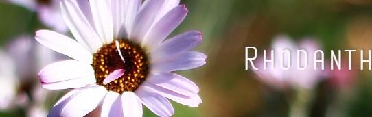 rhodanthemum_pinkel