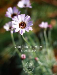 rhodanthemum_pinkelf