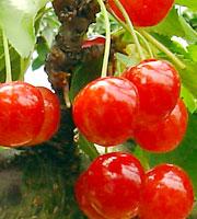 cherry01[1]
