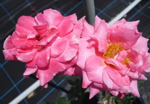 pink001
