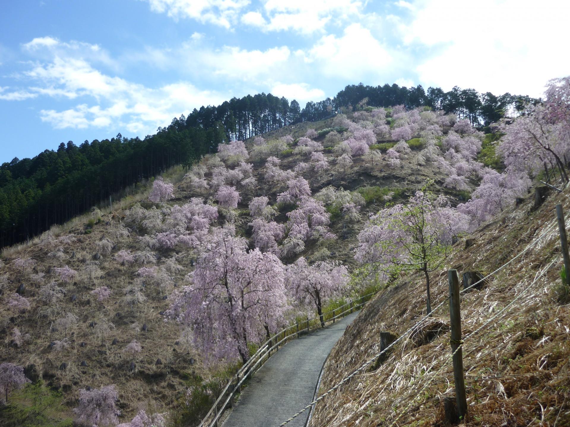天空の桜1