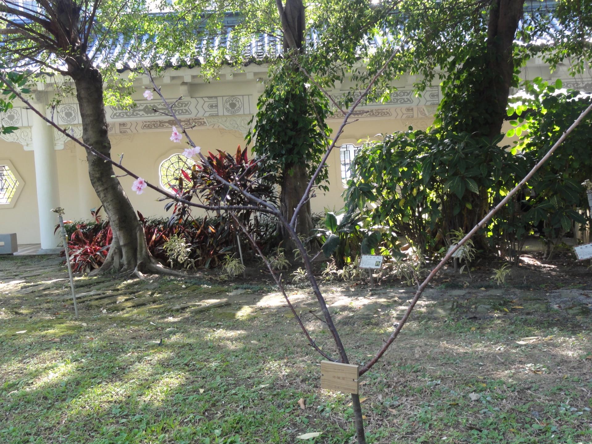 カワヅザクラ in Taiwan