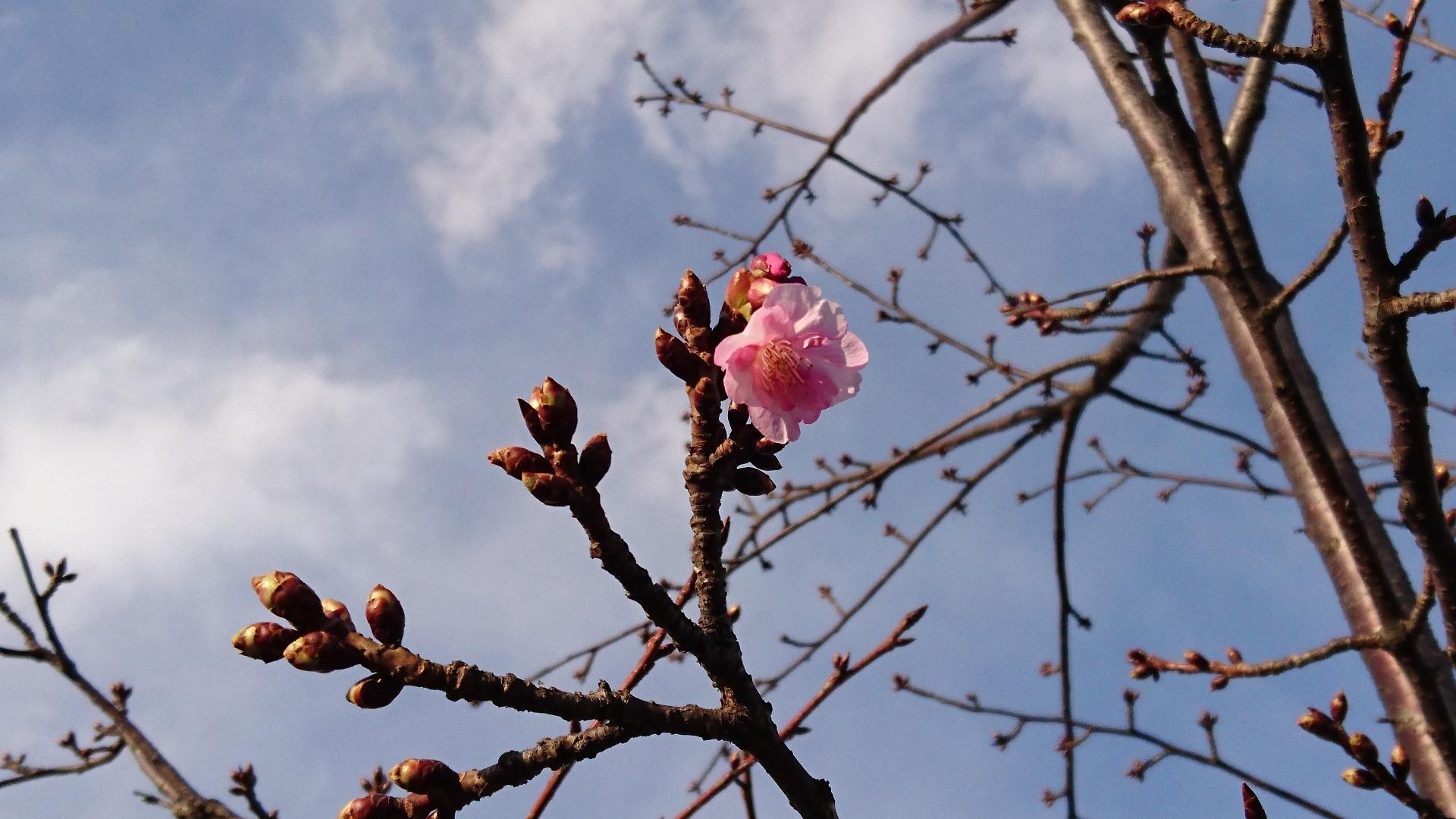 桜🌸の花❓