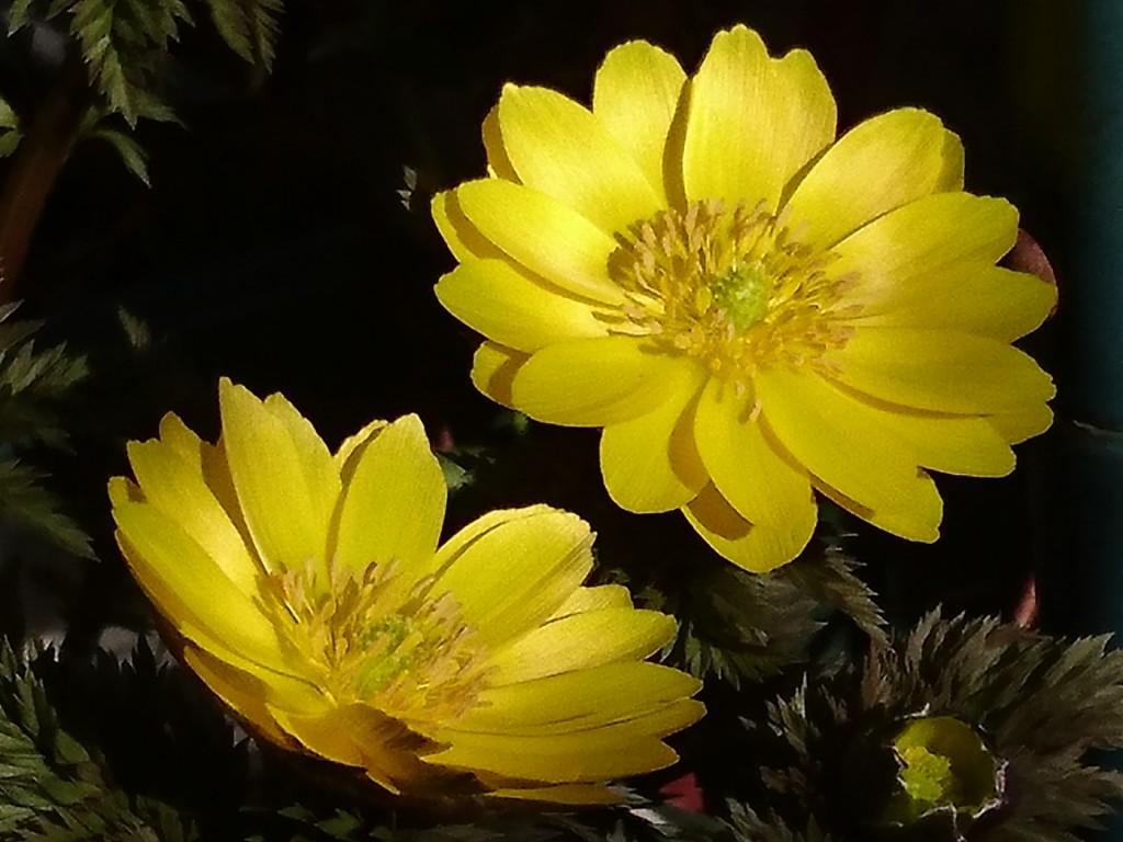 福寿草の開花