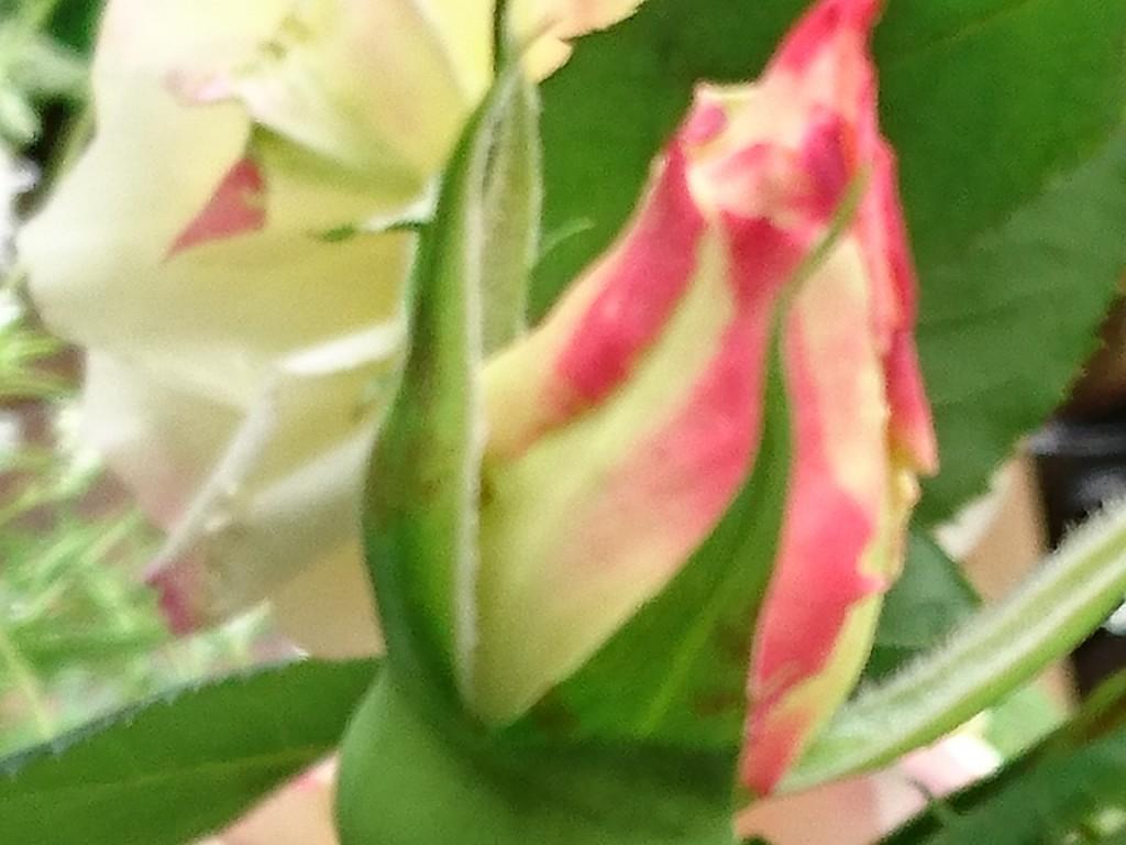 ダブルデライト  2番花