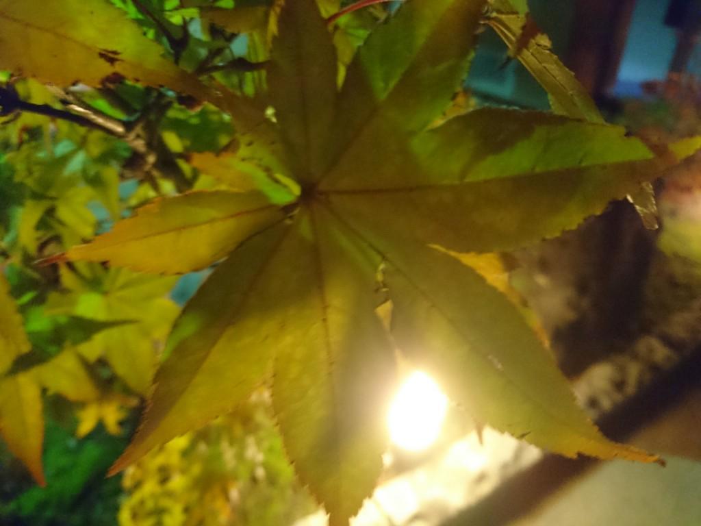 黄金色に  黄葉
