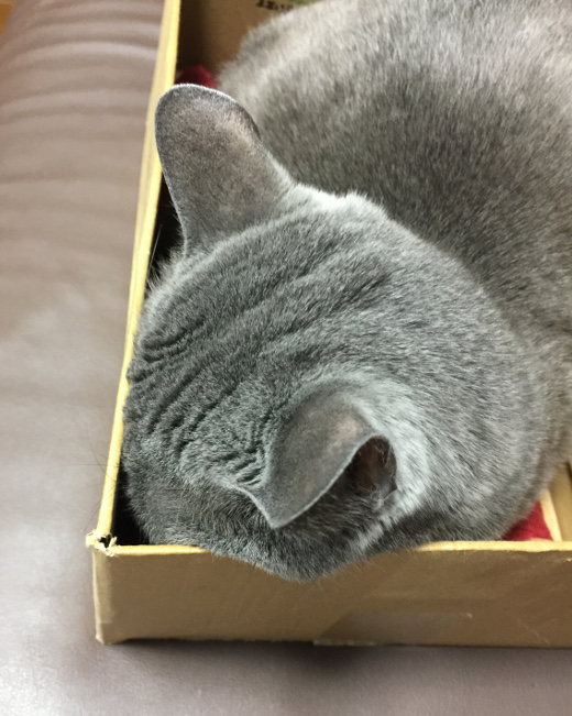 段ボール箱で眠る猫 (2)