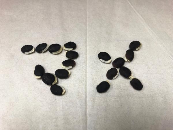 ドリコスラブラブの豆