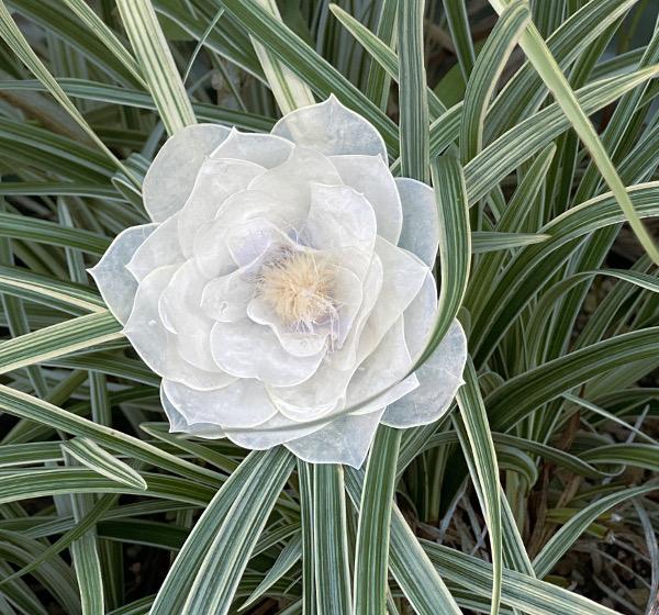 ルナリア漂白花