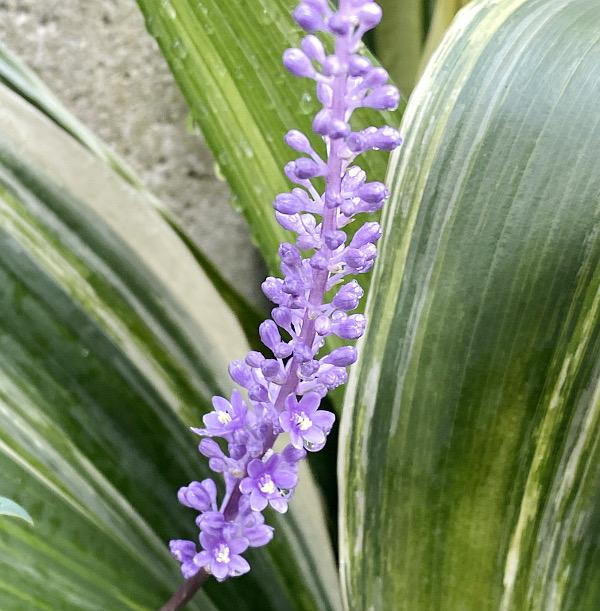 ヤブランの花