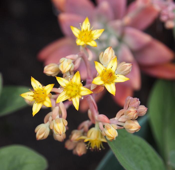 多肉 秋麗の花
