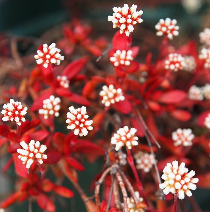 多肉 紅稚児の花