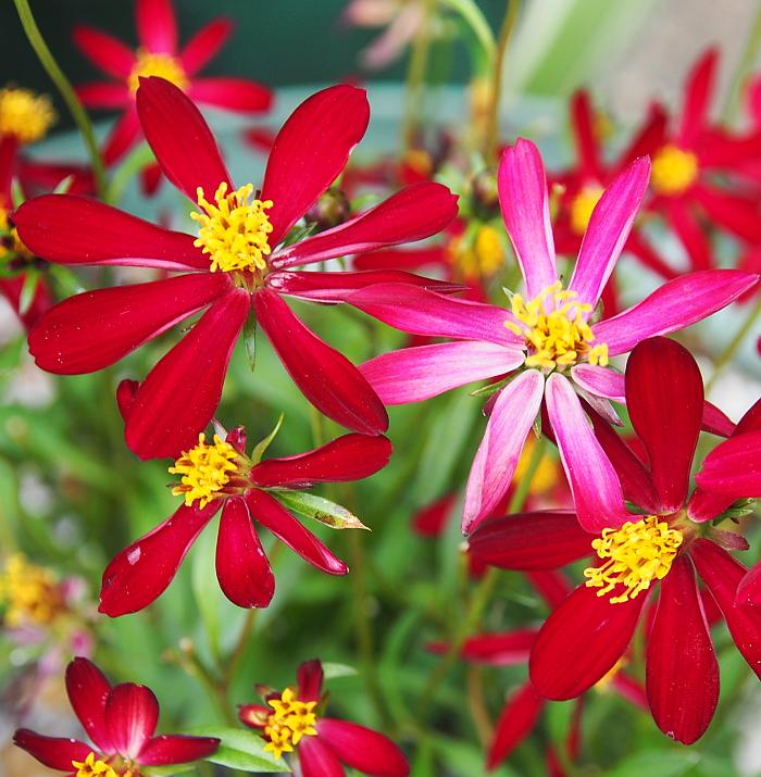 赤いお花をお迎えすることは少ない私ですが、 あまりの可愛さに思わずポットを握りしめておりました(;^ω^)