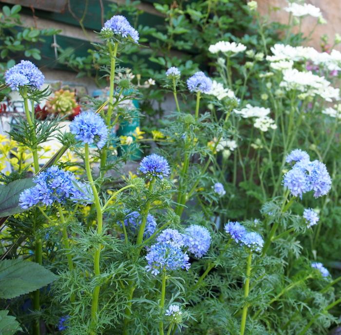 ギリアの花