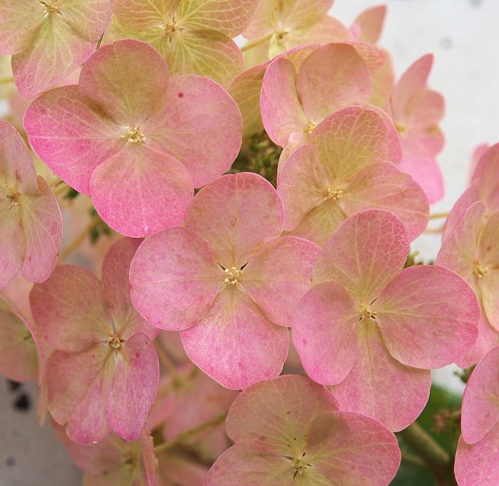柏葉アジサイの花の色付き