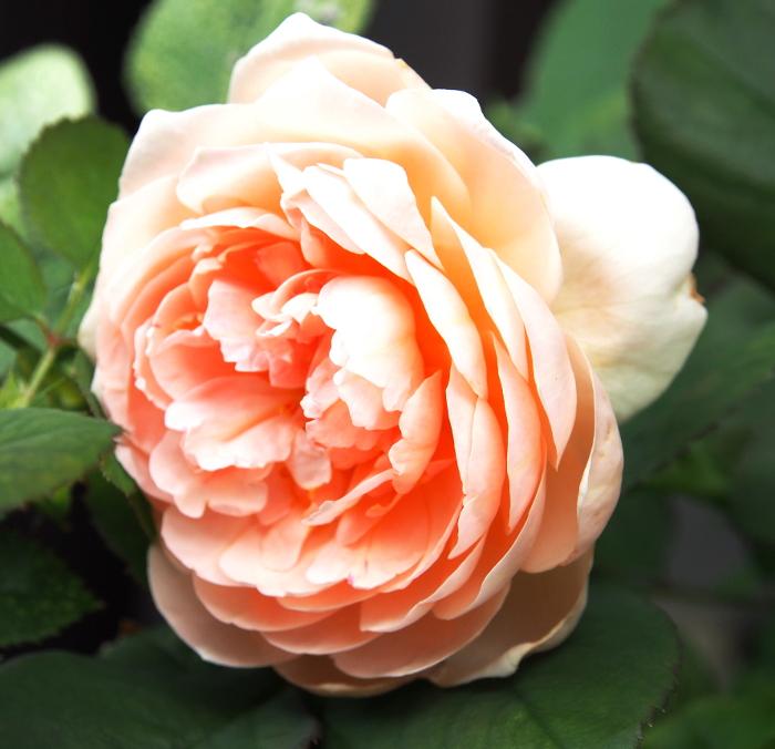 薔薇 アンブリッジローズ