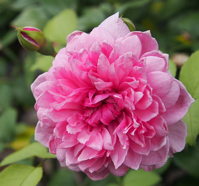 薔薇 シスターエリザベス