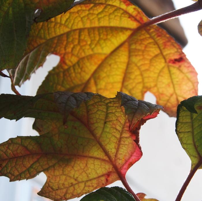 柏葉アジサイの葉の紅葉