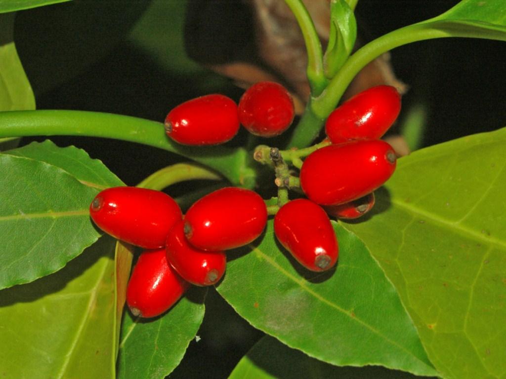 Garryaceae_-_Aucuba_japonica