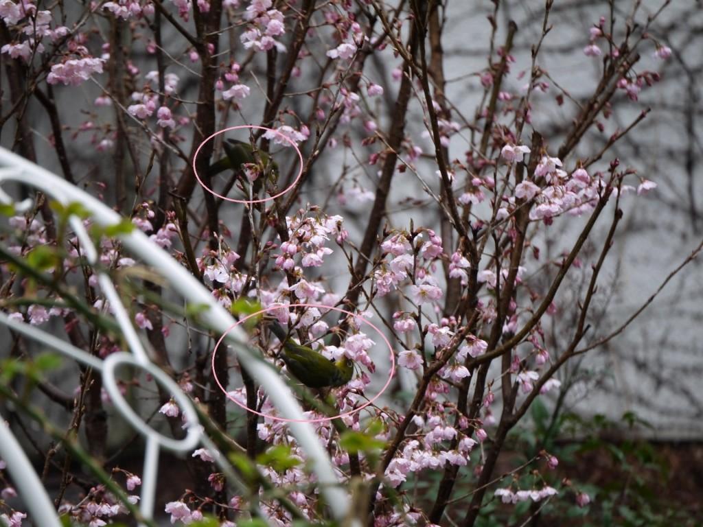 桜咲く メジロ-1