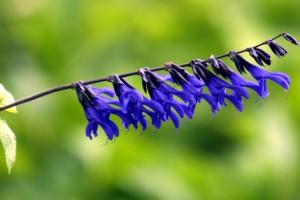 鮮やかな青が美しいサルビア