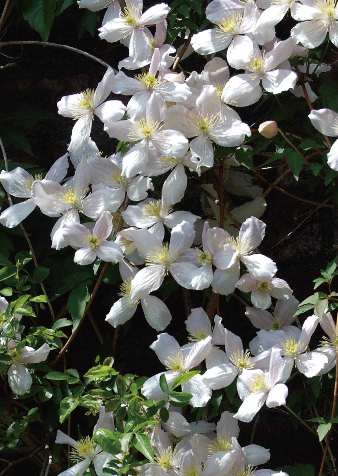 クレマチス モンタナ系(旧枝咲き)