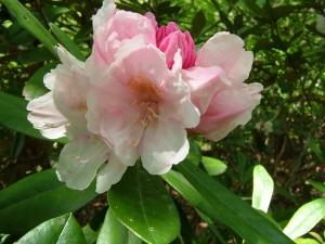 豪華な花をつけるモーニングマジック