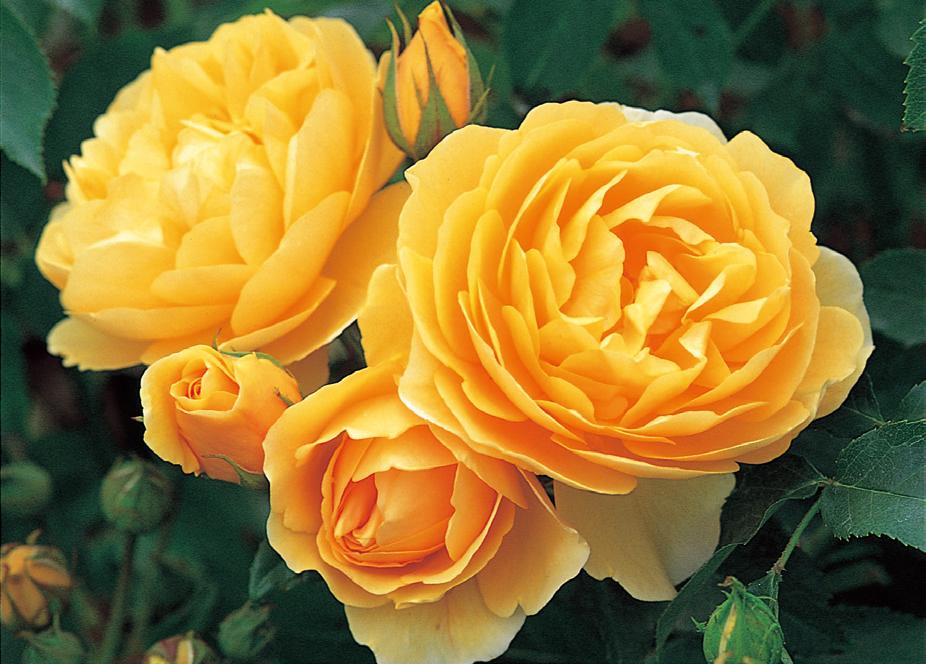 黄色 ●友情 ●あなたを恋します ●可憐 ●美 ●ジェラシー 写真はグラハム トーマス
