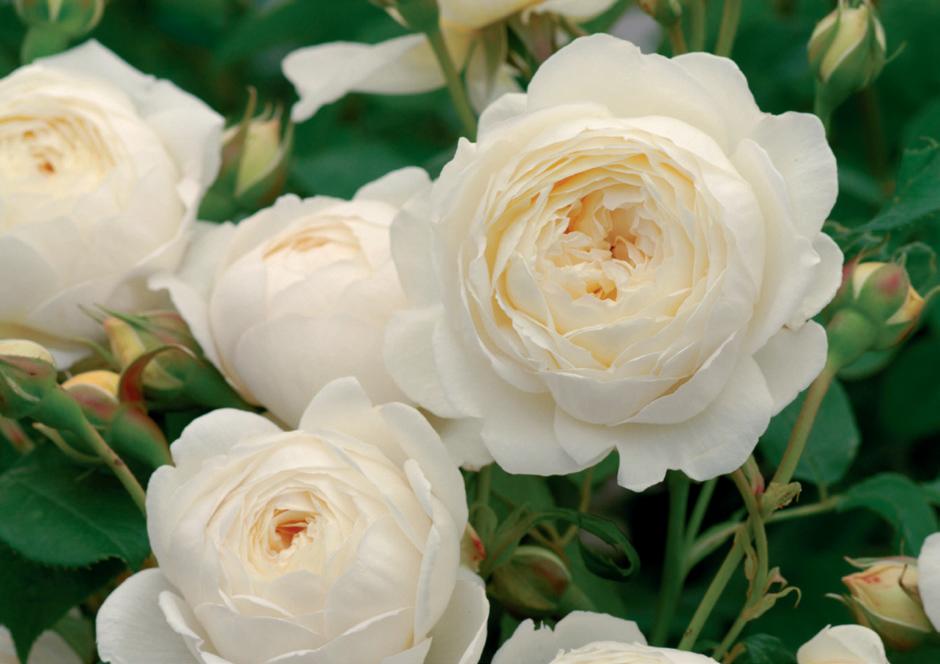 白色 ●尊敬 ●純潔 ●約束を守る無邪気 ●恋の吐息 ●心からの尊敬 ●私はあなたにふさわしい 写真はクレア・オースチン