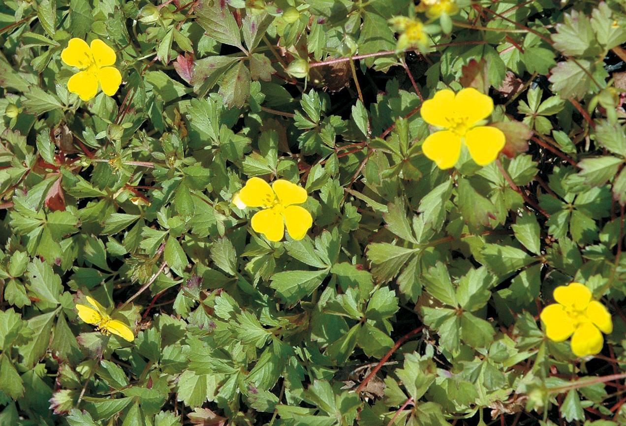 ポテンティラ・ベルナ。耐寒性があり、生育も旺盛。八重品種もある。