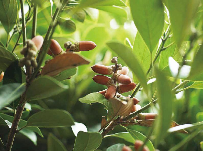 塩害に強い樹木 マテバシイ