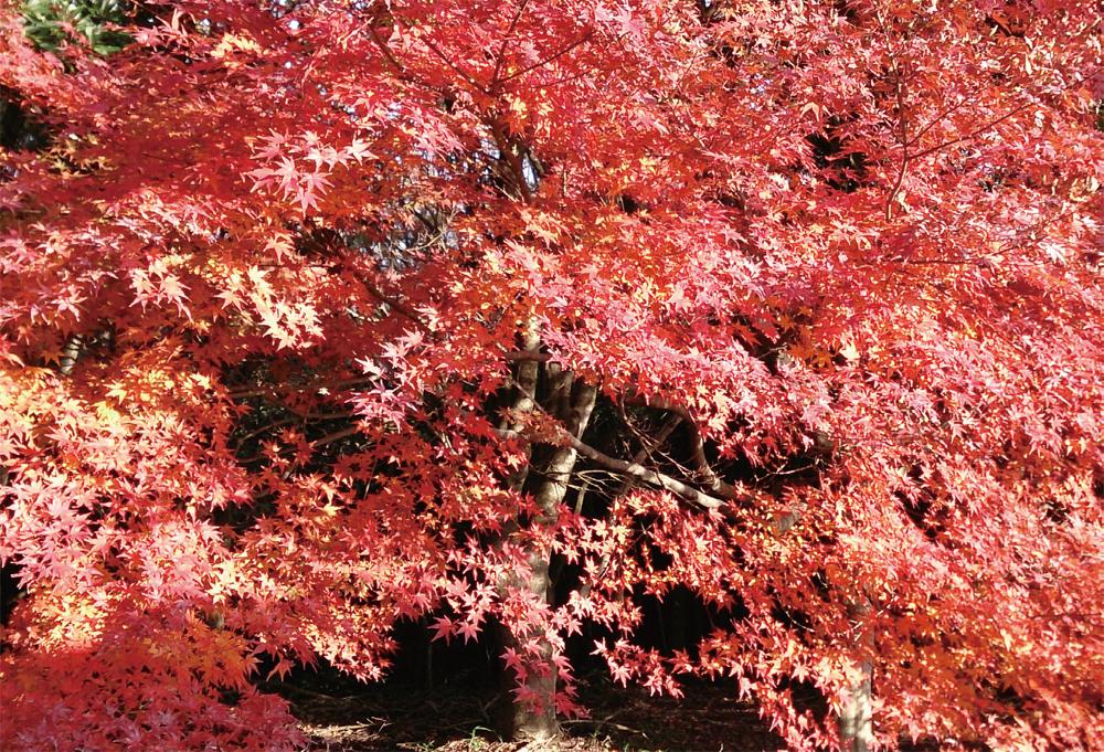 日差しを浴びて、より鮮やかな赤色が輝くモミジ