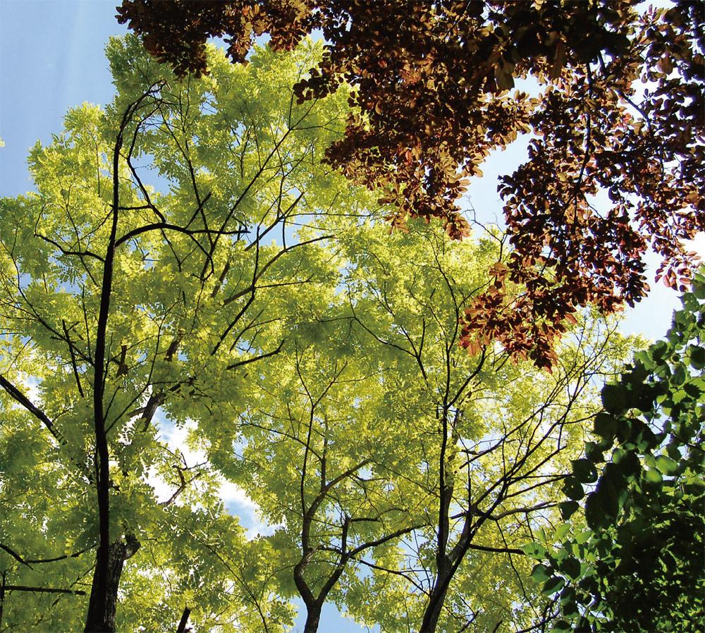 黄金ニセアカシアとベニバスモモの美しいコントラスト(兵庫県 但馬高原植物園)