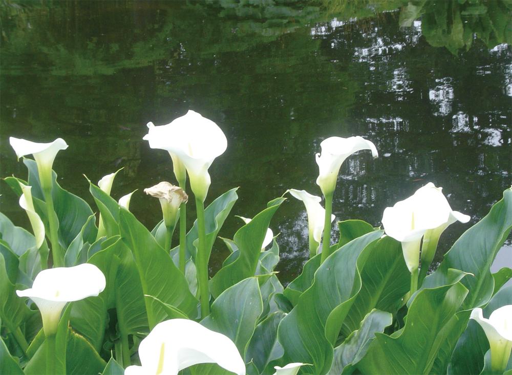 水辺を好むカラー(サトイモ科オランダカイウ属) 4~7月に開花。涼しさを演出。