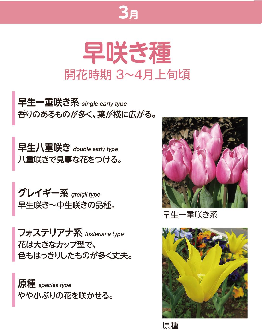 チューリップの種類 早咲き種