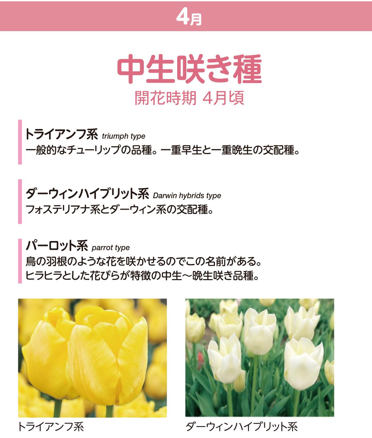 チューリップの種類 中生咲き種