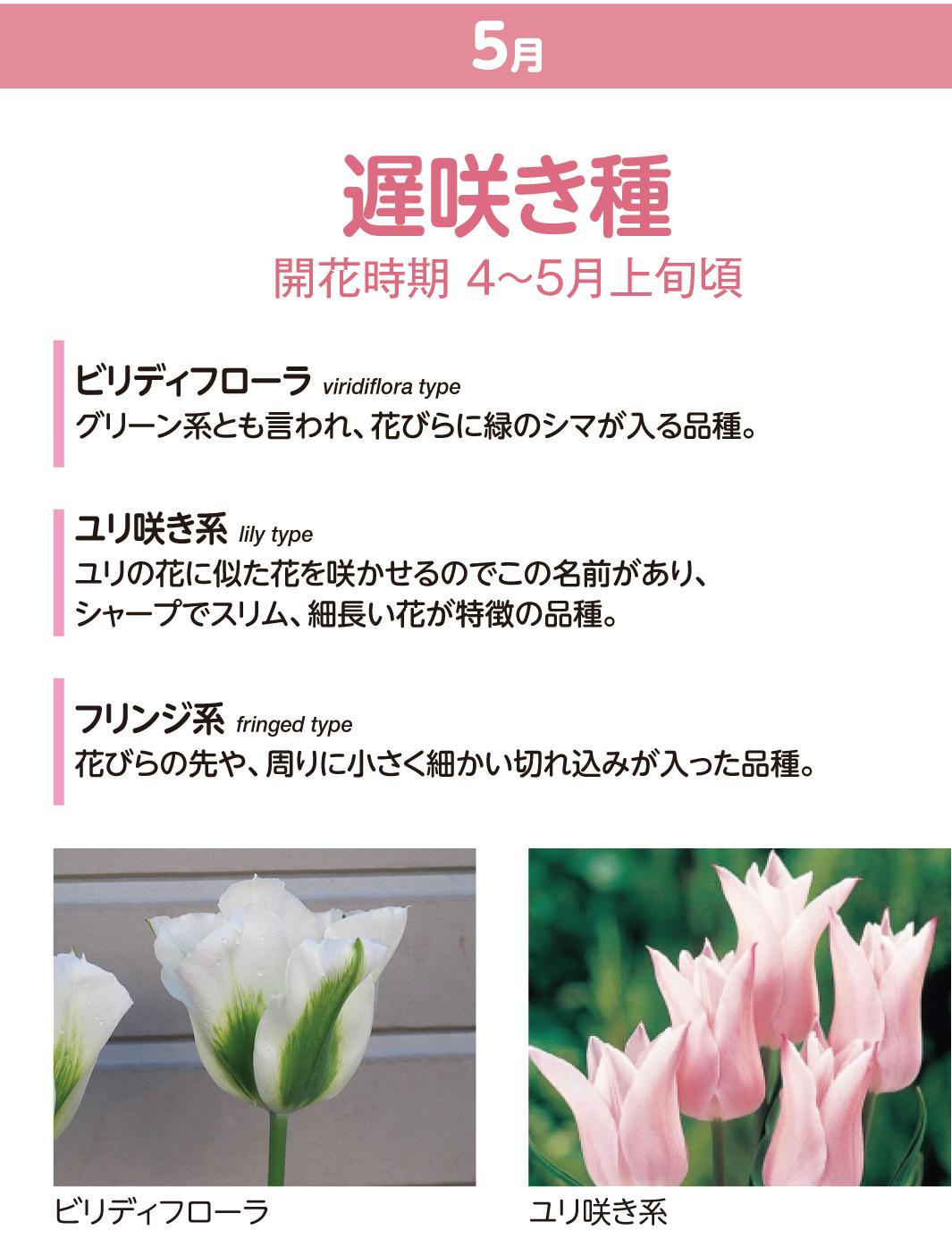 チューリップの種類 遅咲き種
