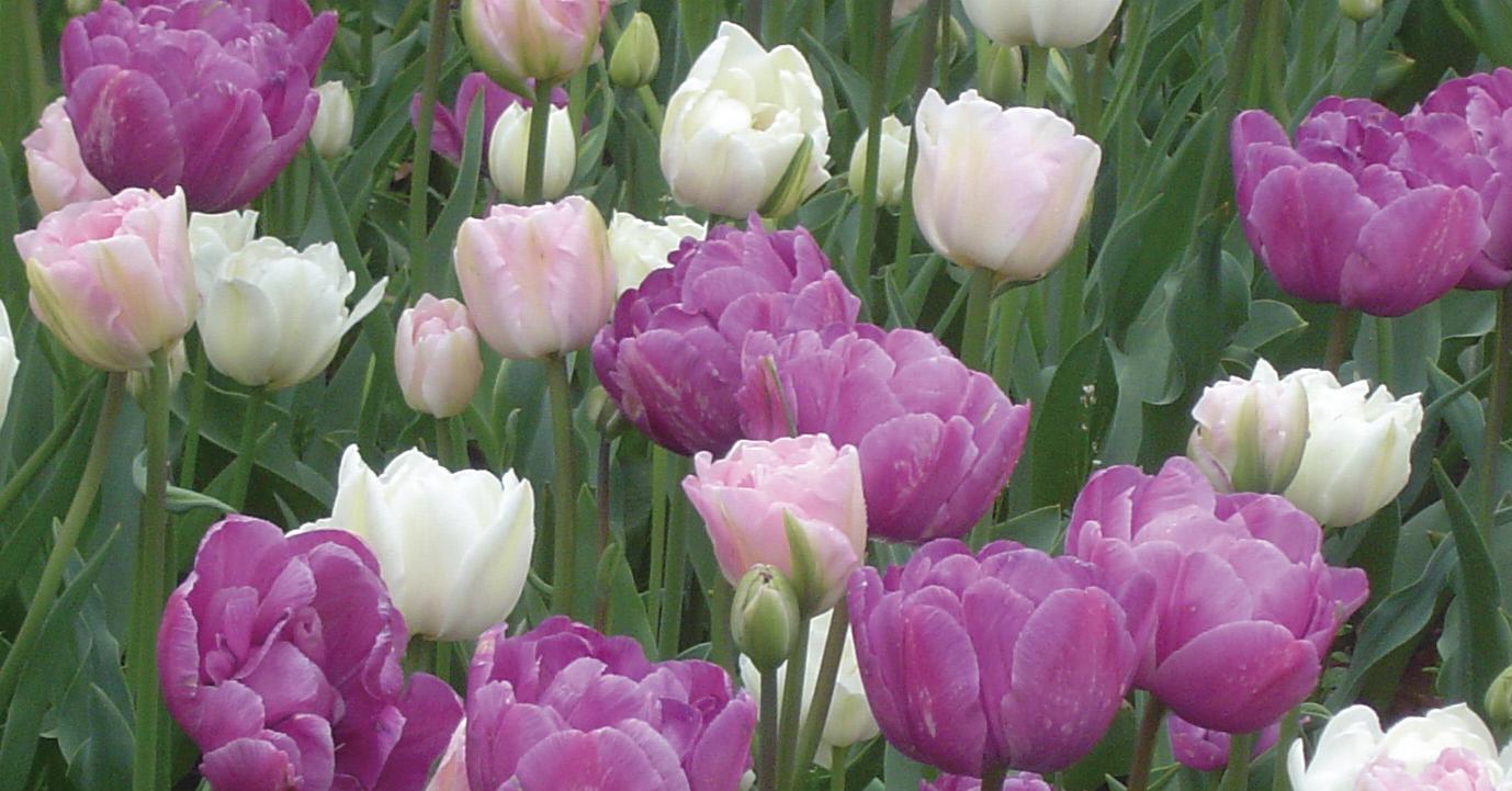 コンビネーション植え その1 白花と同系色のチューリップをミックスで植えこむ。