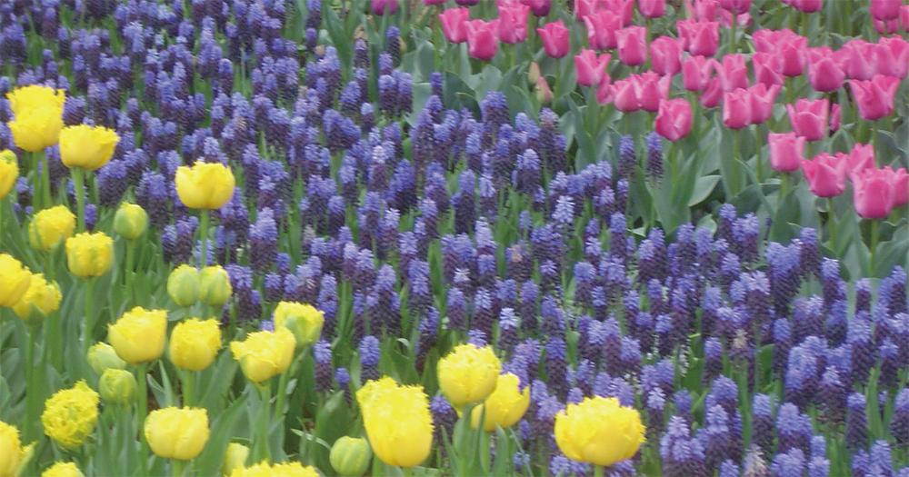コンビネーション植え その2 色彩の異なる品種をコントラストをつけて植えこむ。