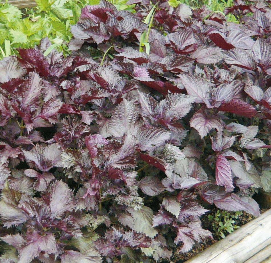 楽しい家庭菜園 薬草・香草を育てる