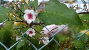 ヘクソ花 (1)
