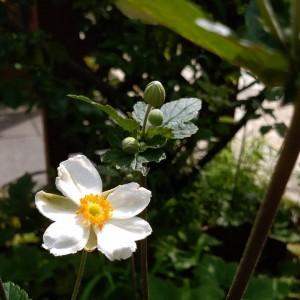 29823秋明菊