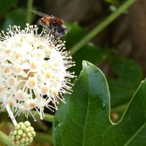 ヤツデに蜂