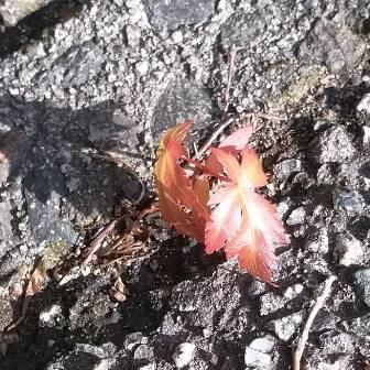 紅葉溢れ種
