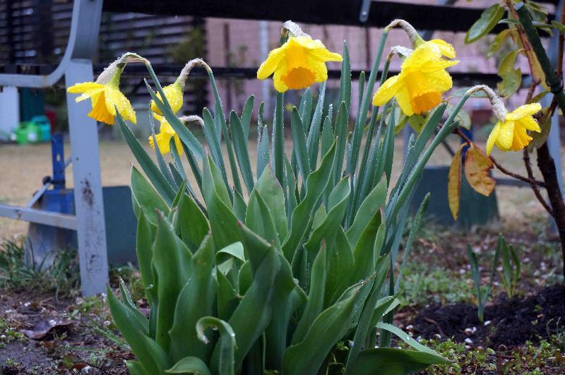 うちの庭のラッパスイセン, Seven Golden Daffodils♪~