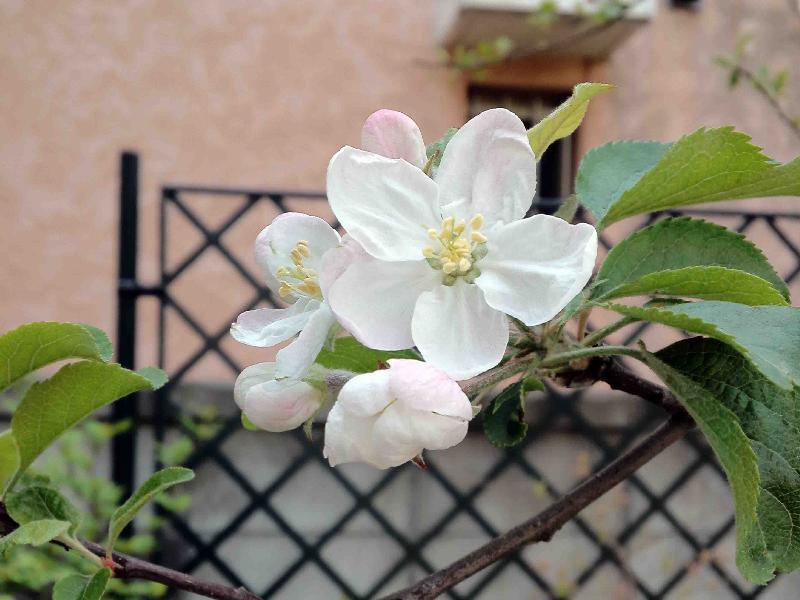 *リンゴ,2013年5月6日